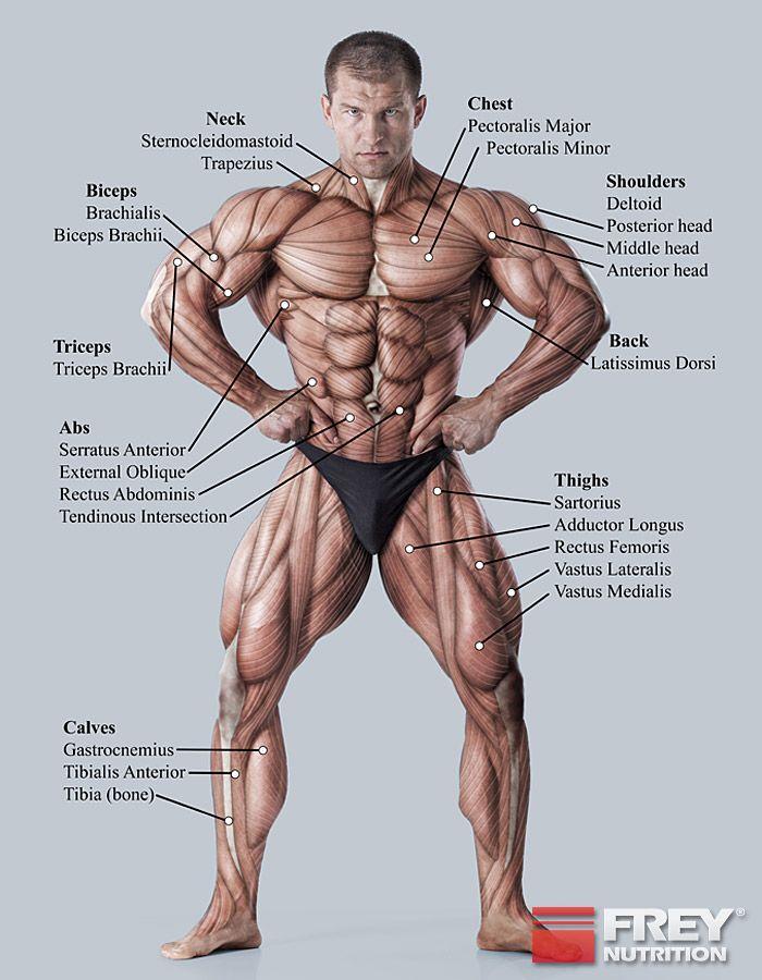 Die Anatomie der Muskulatur | Anatomy | Pinterest | Anatomy, Anatomy ...