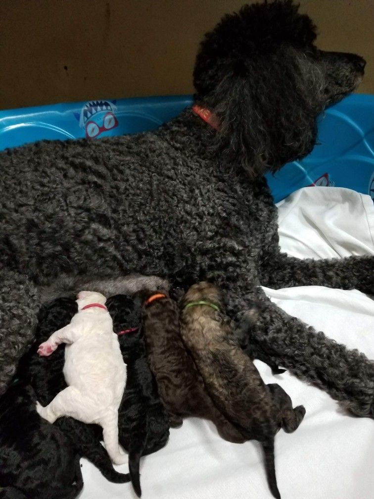 Frankie With Her Puppies From Emerald Coast Breeders Dog Toys