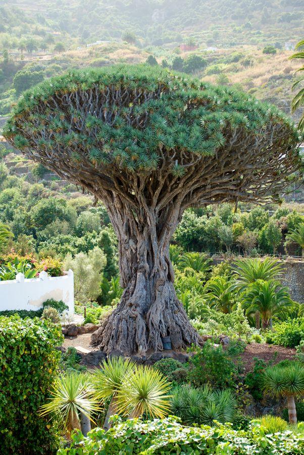 El Drago Milenario, Tenerife, España  Spain
