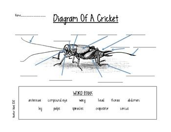 Cricket Life Cycle Diagram Fender Telecaster S1 Wiring Students Can Label The Parts Of A For Your Classroom Insect Study Includes Word Bank To Reference Teacher Answer Key Included
