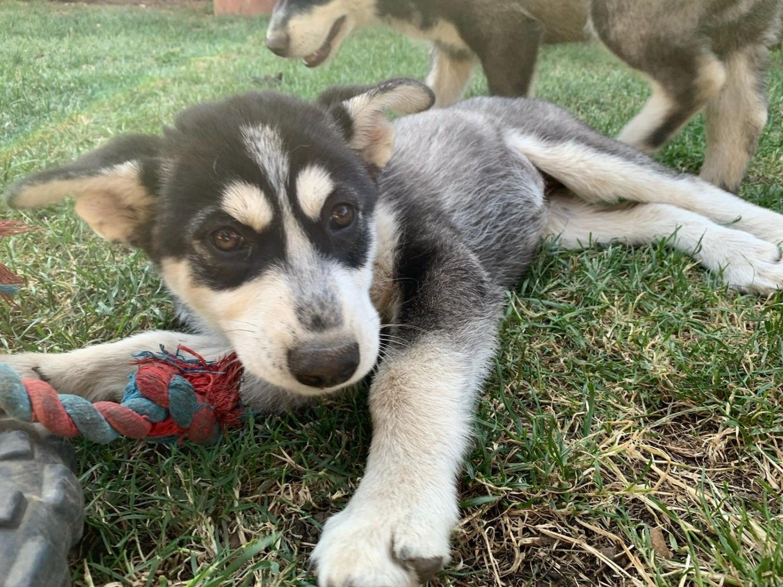 Siberian Husky Puppies For Sale Fairfield Ca In 2020 Husky Puppy Siberian Husky Husky