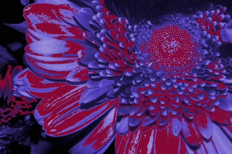 This Red Blue And Purple Flower Is An Analogous Color Scheme