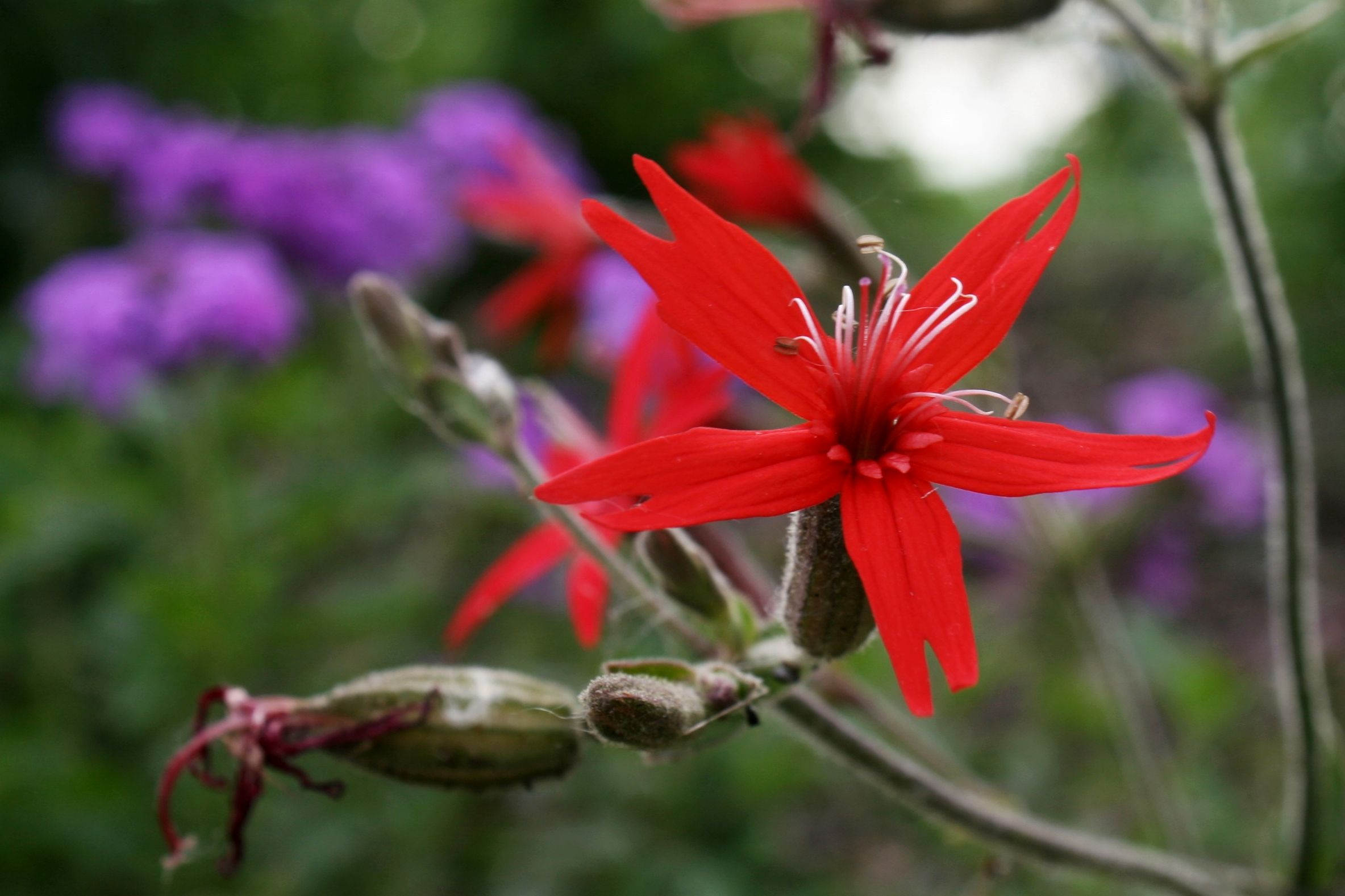 Fire Pink Silene Virginica This Native Plant Prefers Partial Sun