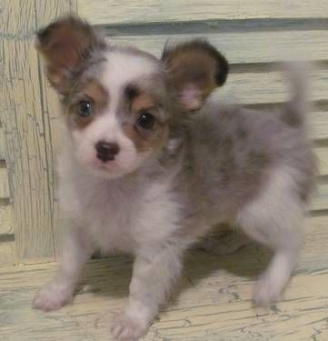 Chihuahua Long Hair Blue Merle Male Puppy Blue Boy See Him On My