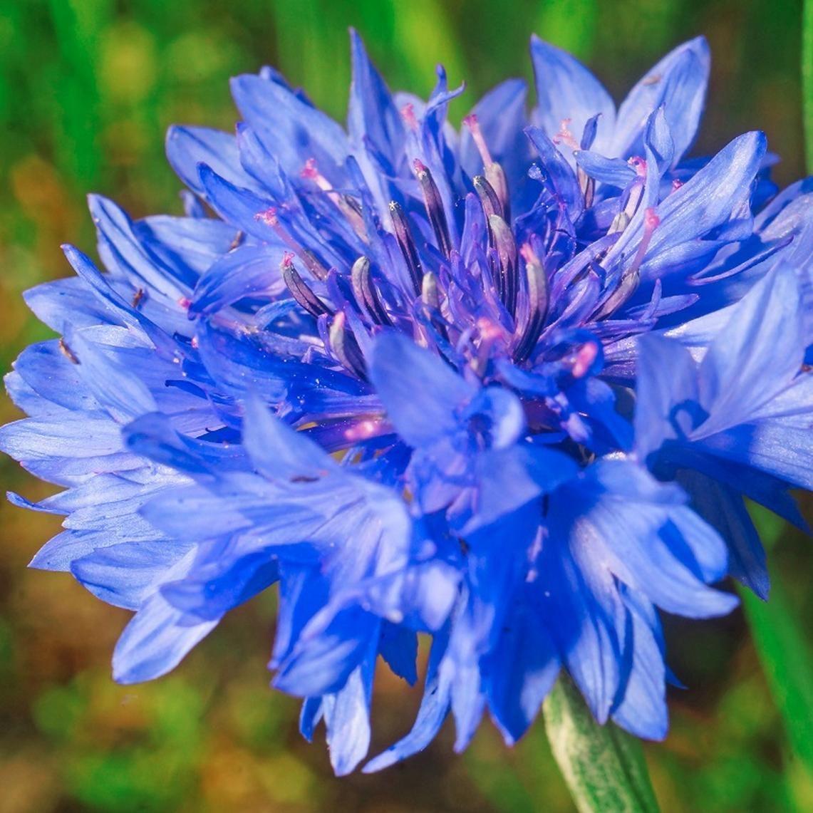 Cornflower seeds dwarf blue flower seeds in packets