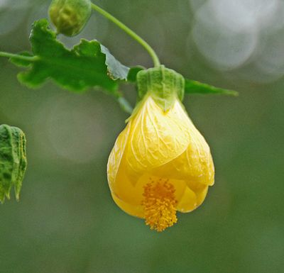 Yellow Bells Abutilon Plant Features Bell Shaped Buttery Yellow