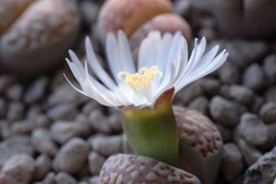 """""""Uma das criações mais incríveis na natureza, Lithops """".             Lithops ( do grego litho=pedra e ops=forma) é um gênero botânico ..."""