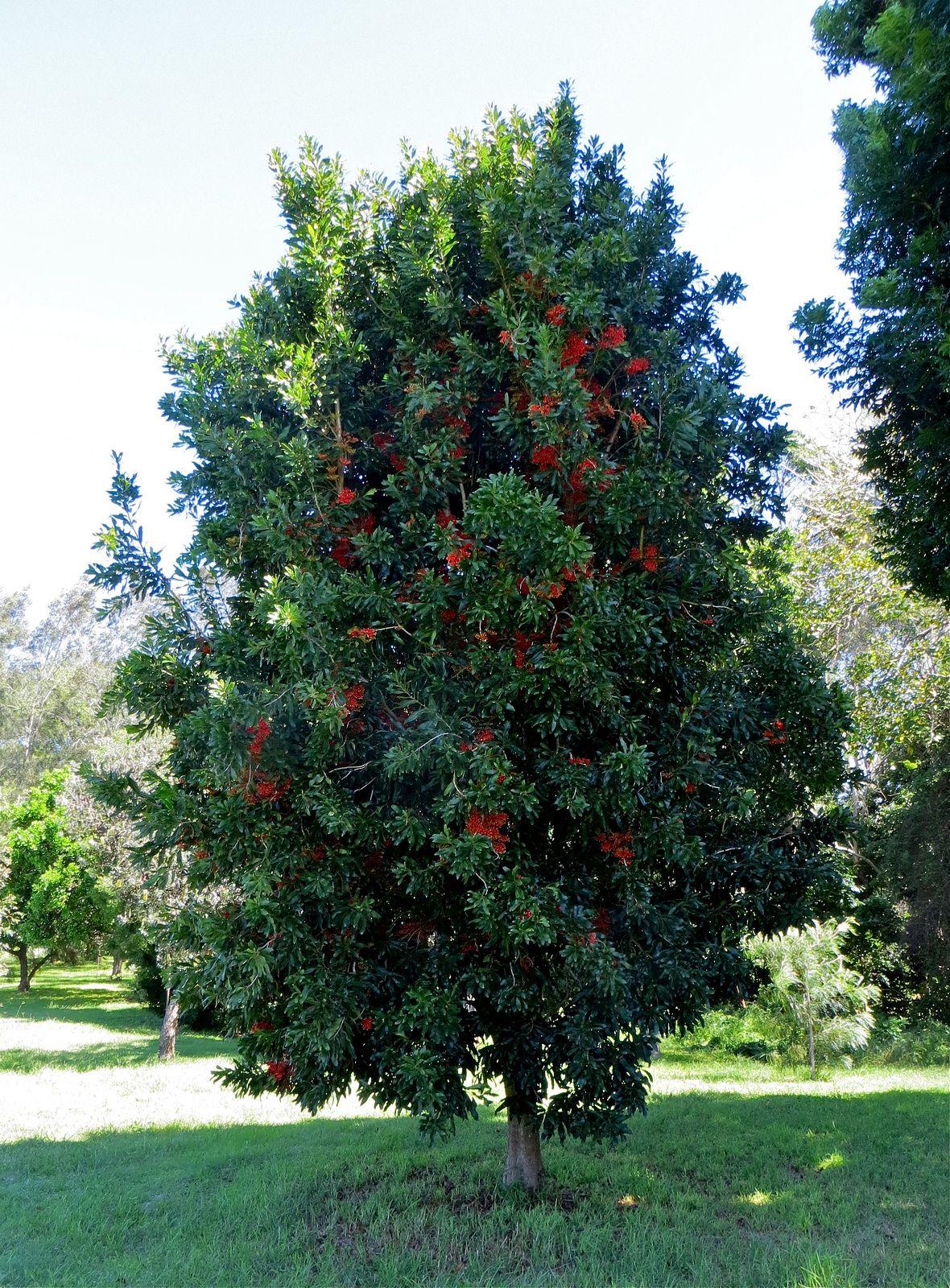 Stenocarpus sinuatus, known as the Firewheel Tree is an ...