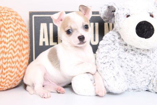 Chihuahua Puppy For Sale In Naples Fl Adn 52601 On Puppyfinder