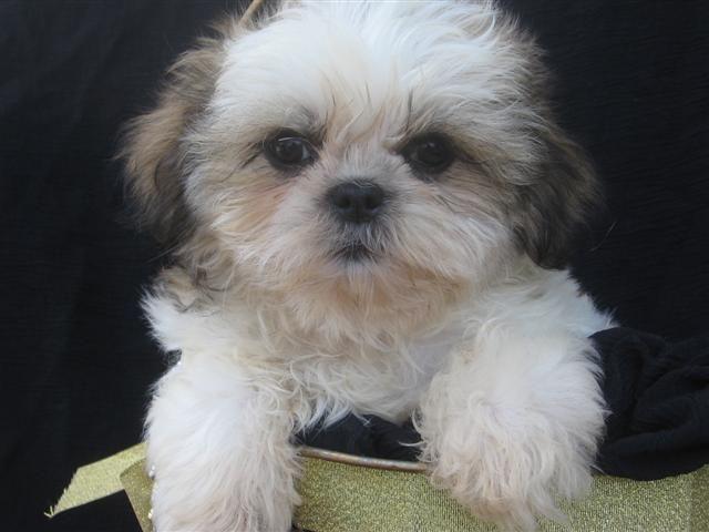 Shih Tzu Puppy Pictures Information Shih Tzu Dog Shih Tzu Puppy