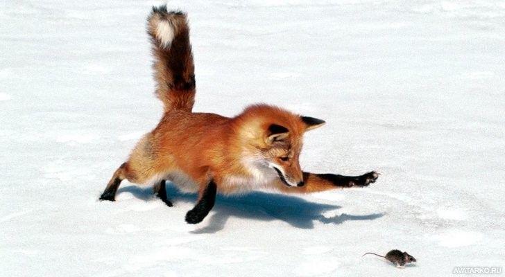 Картинка 728x400 | Аватар с лисой, которая охотится на мышь. Скачать картинку лисьей охоты. | Животные, Лисы,  фото