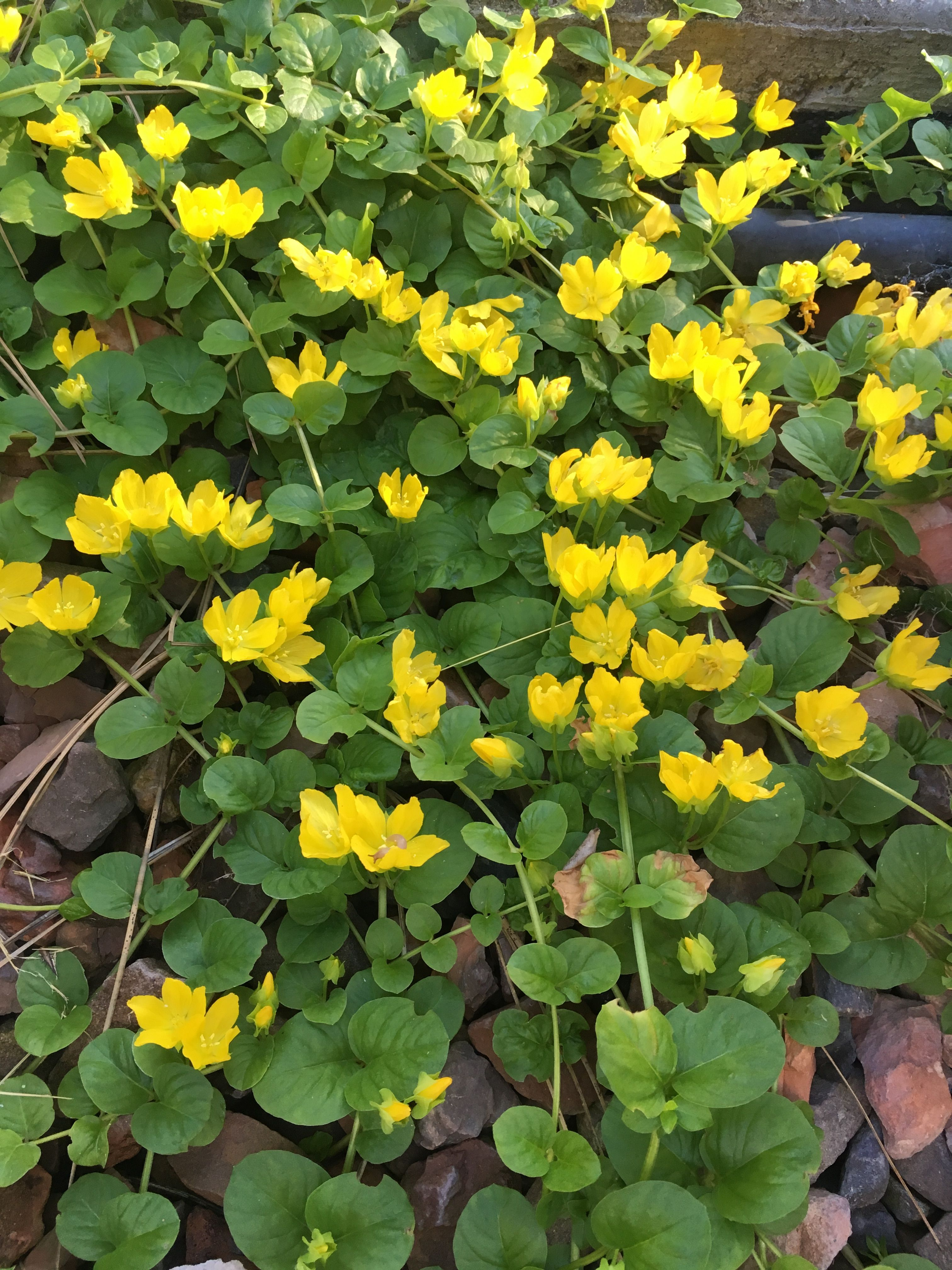 Yellow Vine Flowers Plants I Have Grown In My Yard Pinterest