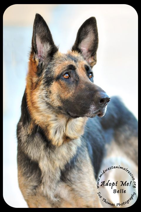 Mars Has A Few German Shepherds Up For Adoption Check Out Belle