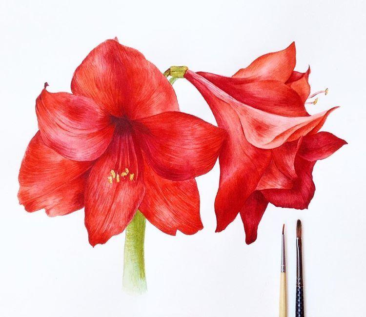 Амариллис, рисовала по своему фото, радует своим цветением ...