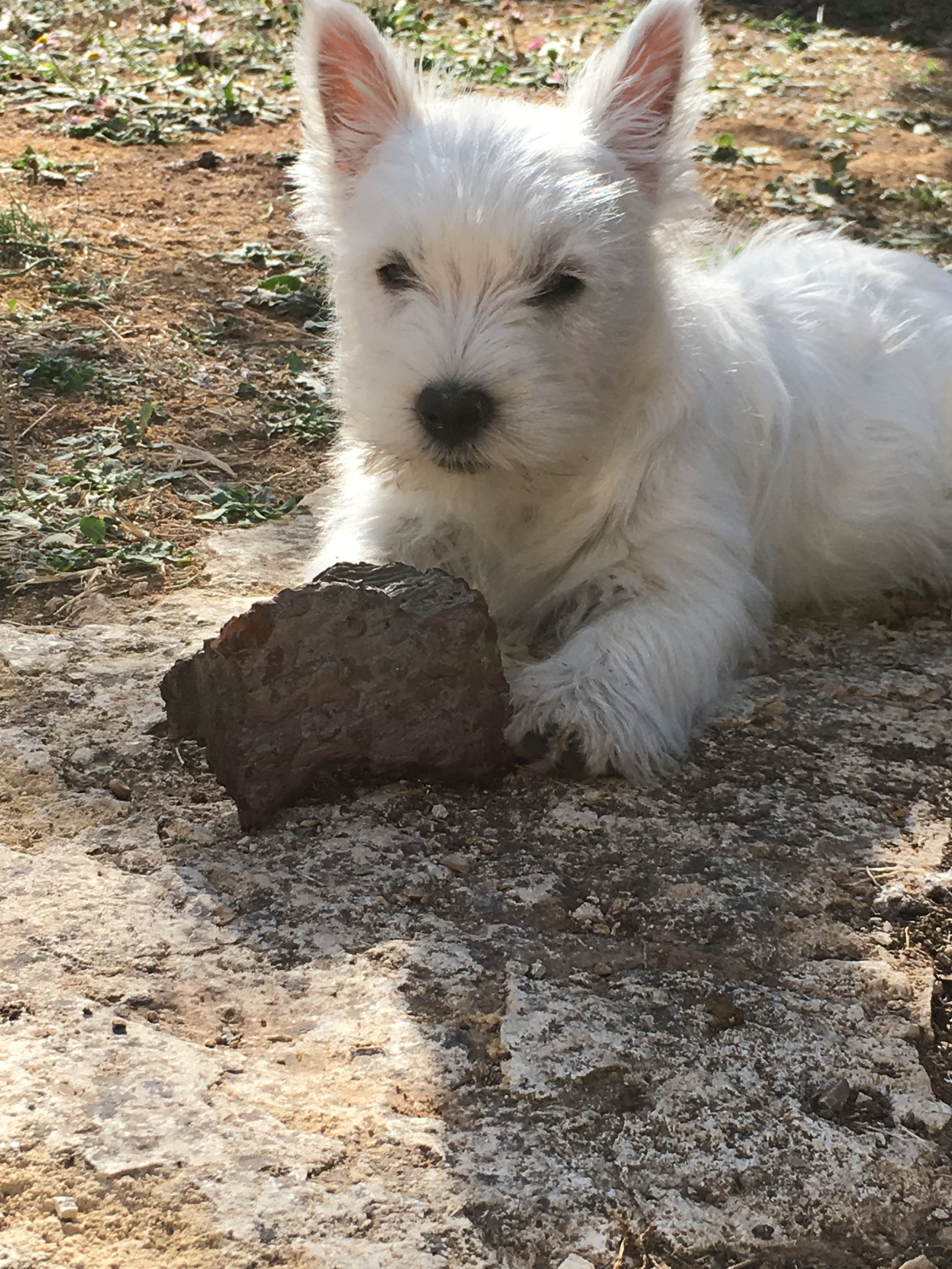 Westie Puppy Romy Westitude Baby Dogs Westie Puppies Cairn