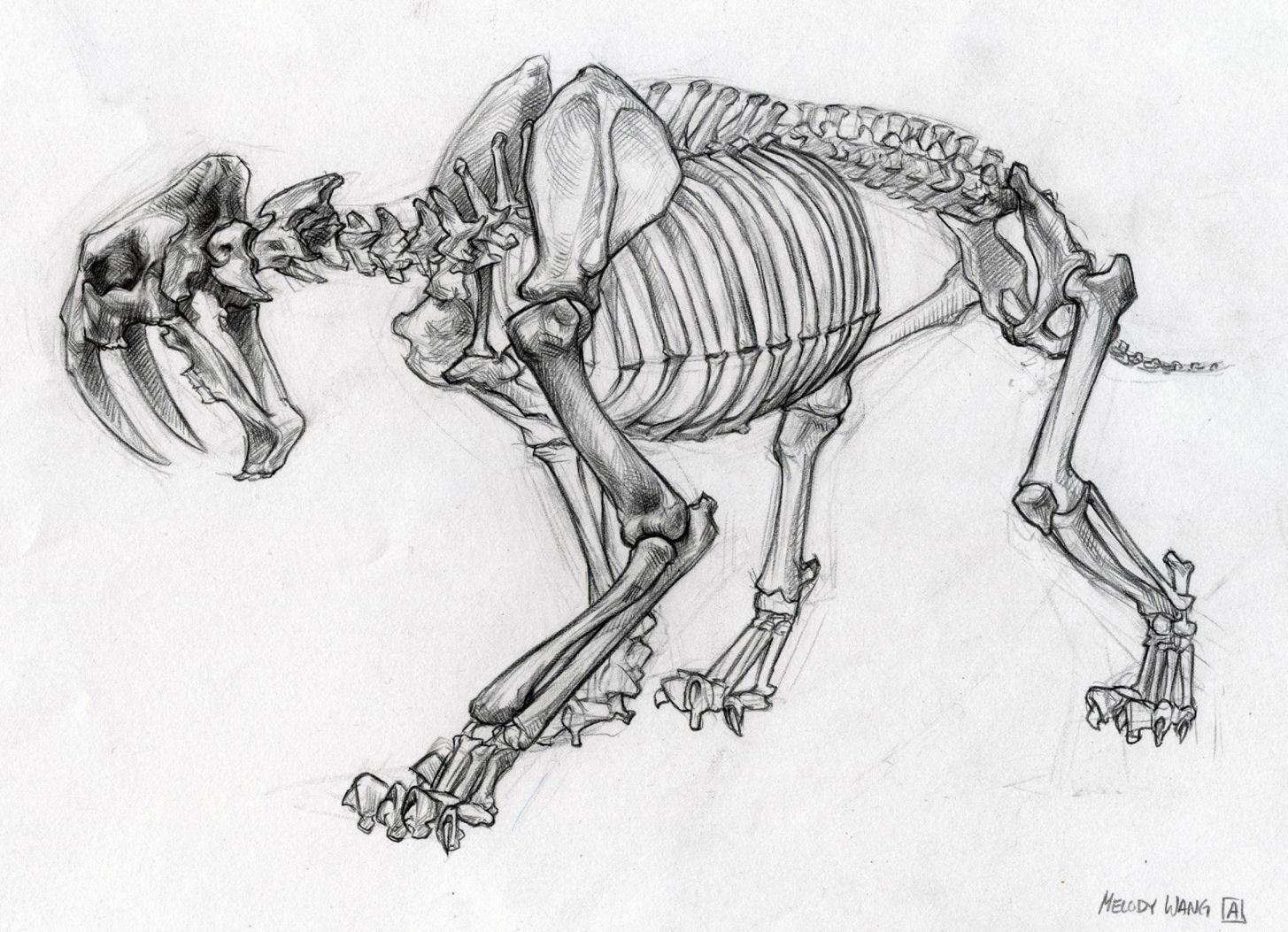 life drawing sabertooth skeleton jpg 1455 1053 year 9 exam