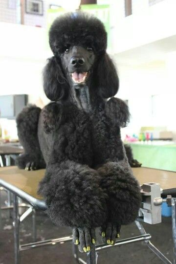 Henry ThePoodle by Lori White