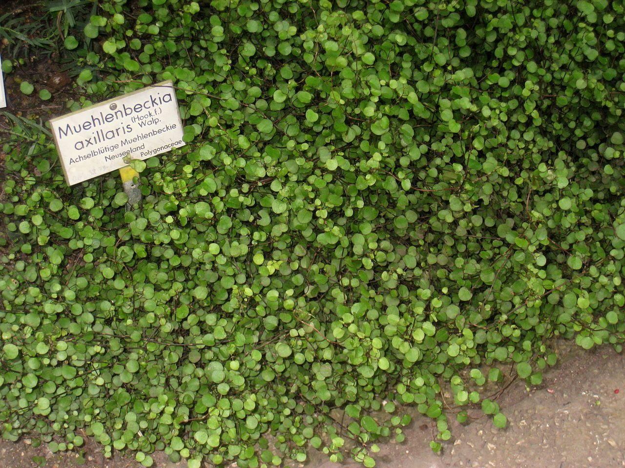 Muehlenbeckia Axillaris Daderot Eigenes Werk Muehlenbeckia Axillaris Specimen In The Botanischer Muhlenbeckia Botanischer Garten Berlin Botanischer Garten