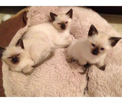 Seal Point Siamese Kittens Siamese Kittens Kittens Cats