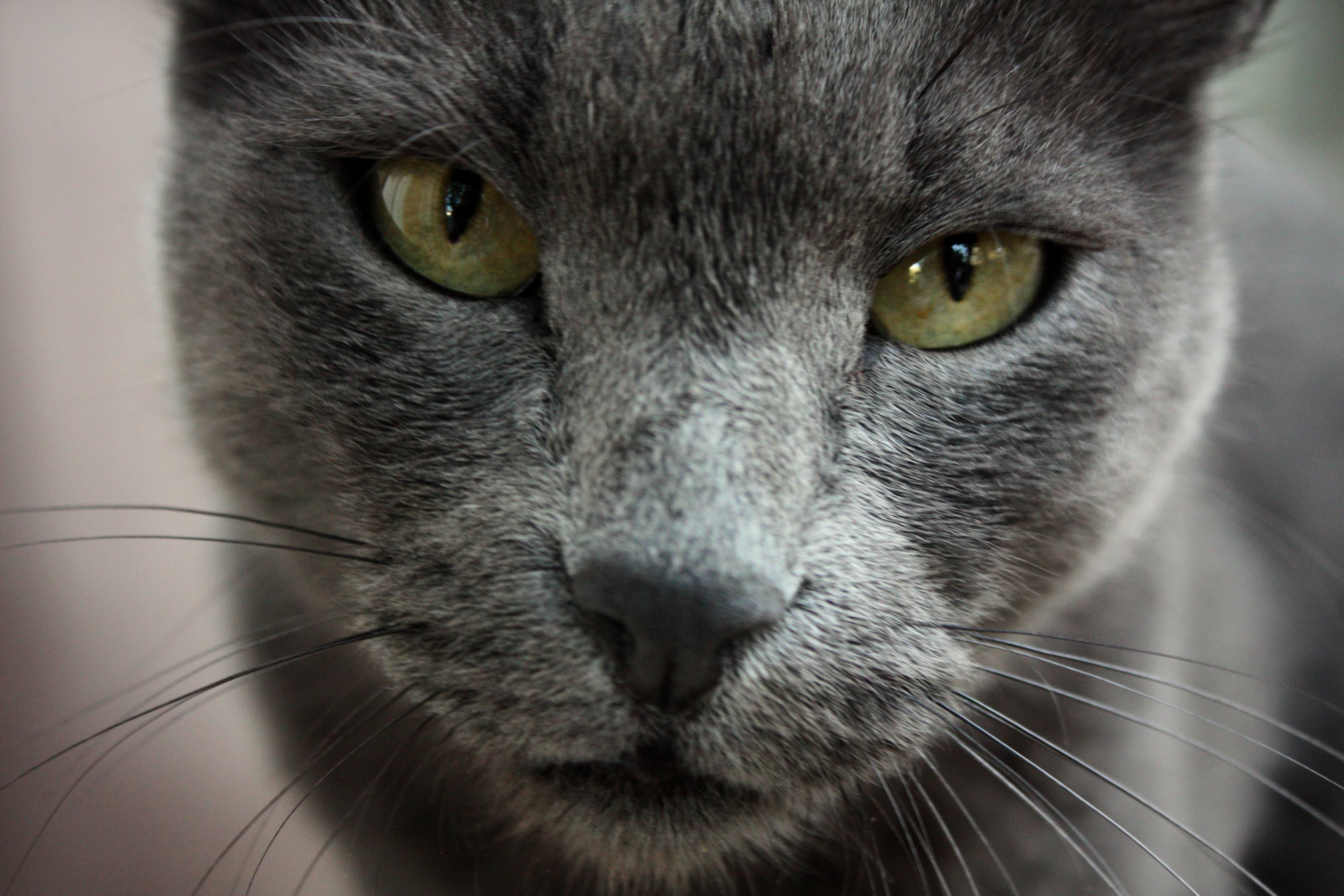 Russian Blue Cat Wallpaper 4272—2848