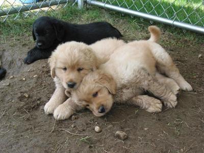 Paddington Labrador Retrievers In 2020 Labrador Retriever Labrador Golden Retriever