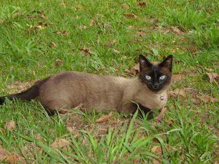 100% amigo: Saiba mais sobre o gato siamês