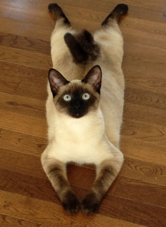 16 Reasons To Never Adopt A Siamese Cat Cats And Kittens Crazy Cats Kittens