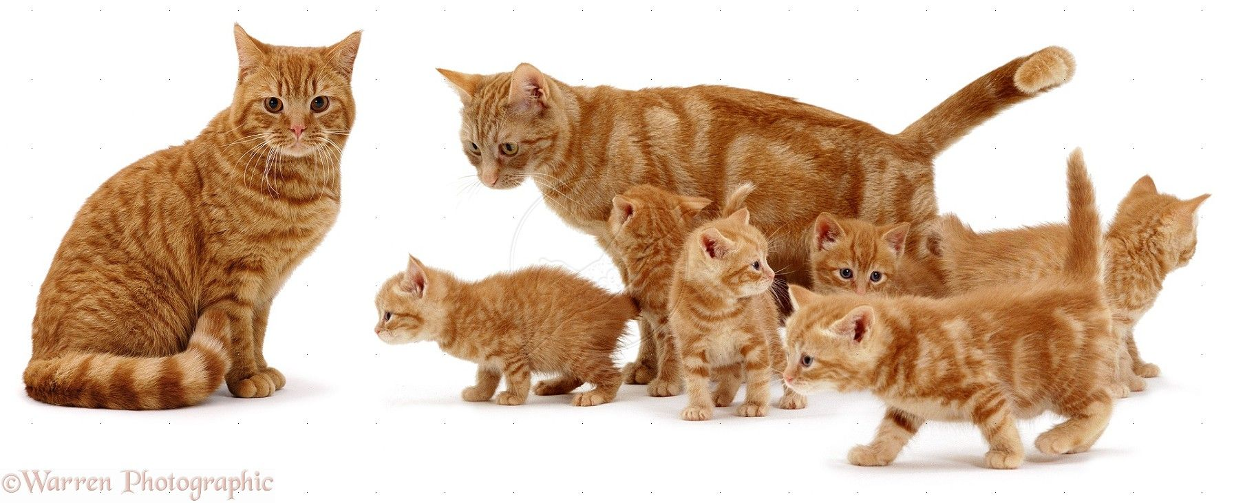 Family Of Marmalade Cats Ginger Cats Cat Background Cat Family