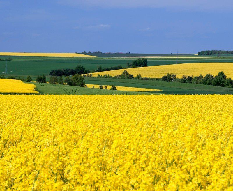 Canola Fields Quotes: Looks A Bit Like Yellow Canola Fields In Saskatchewan