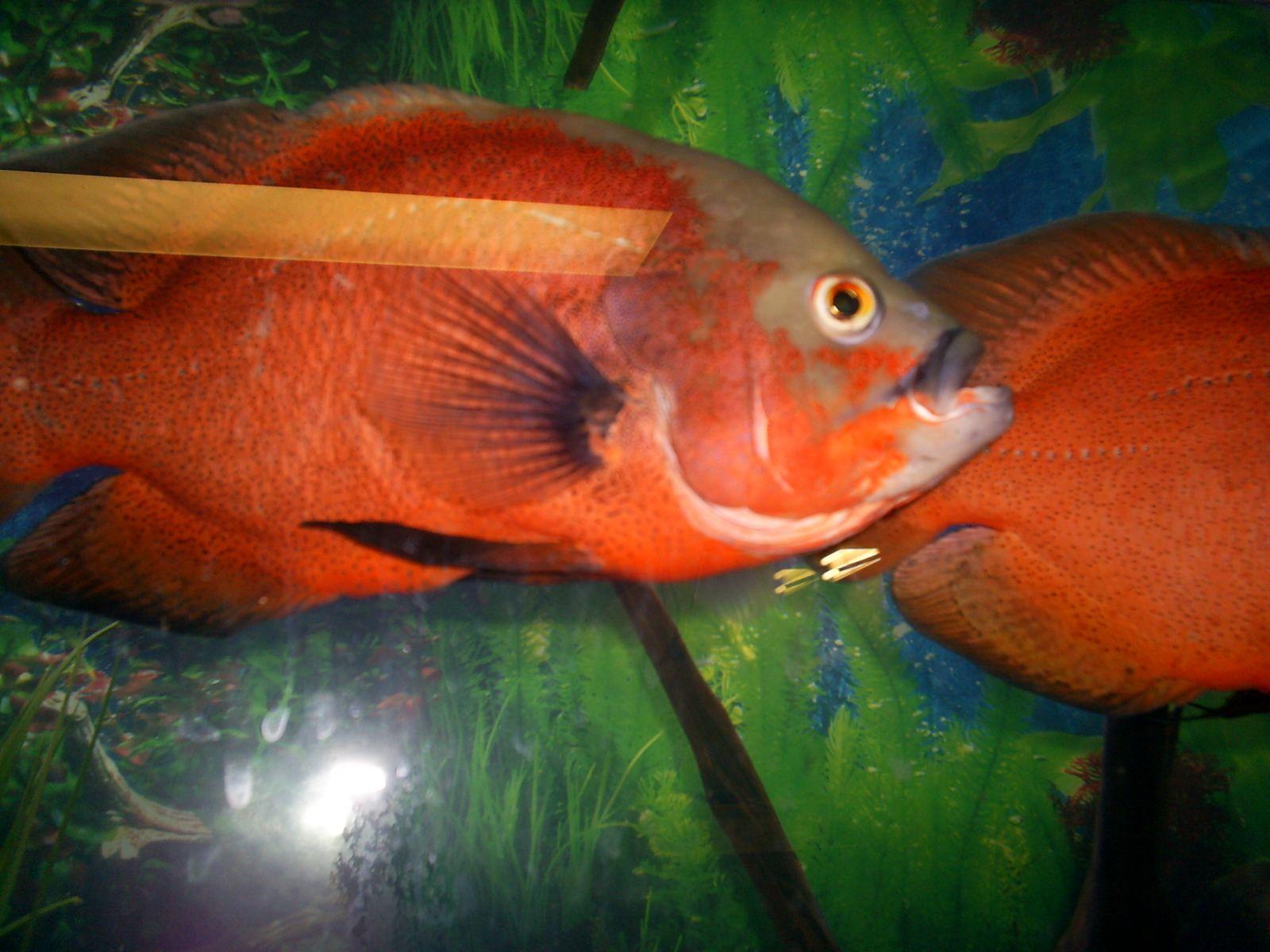 Red oscars | My fish tank | Pinterest | Fish tanks