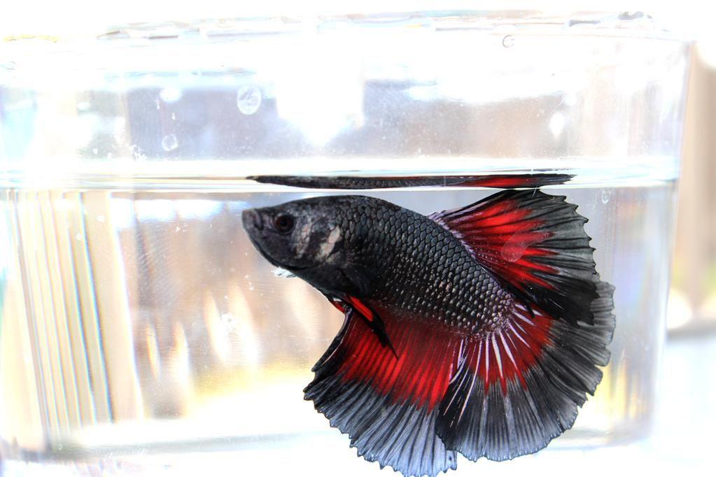 Meet Spyro, a #dragonscale betta fish.