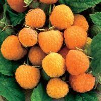 Anne Yellow Raspberry From Stark Bro S Raspberry Plants Yellow