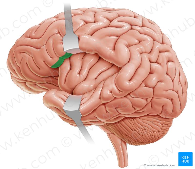 Frontal operculum (фронтальная покрышка)   Brain.Lateral view ...