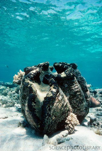 Giant giant clam (Tridacna gigas). Largest living bivalve mollusc - up to 1.2 metres in length and weigh more than 227 kilograms. South Pacific and Indian oceans.