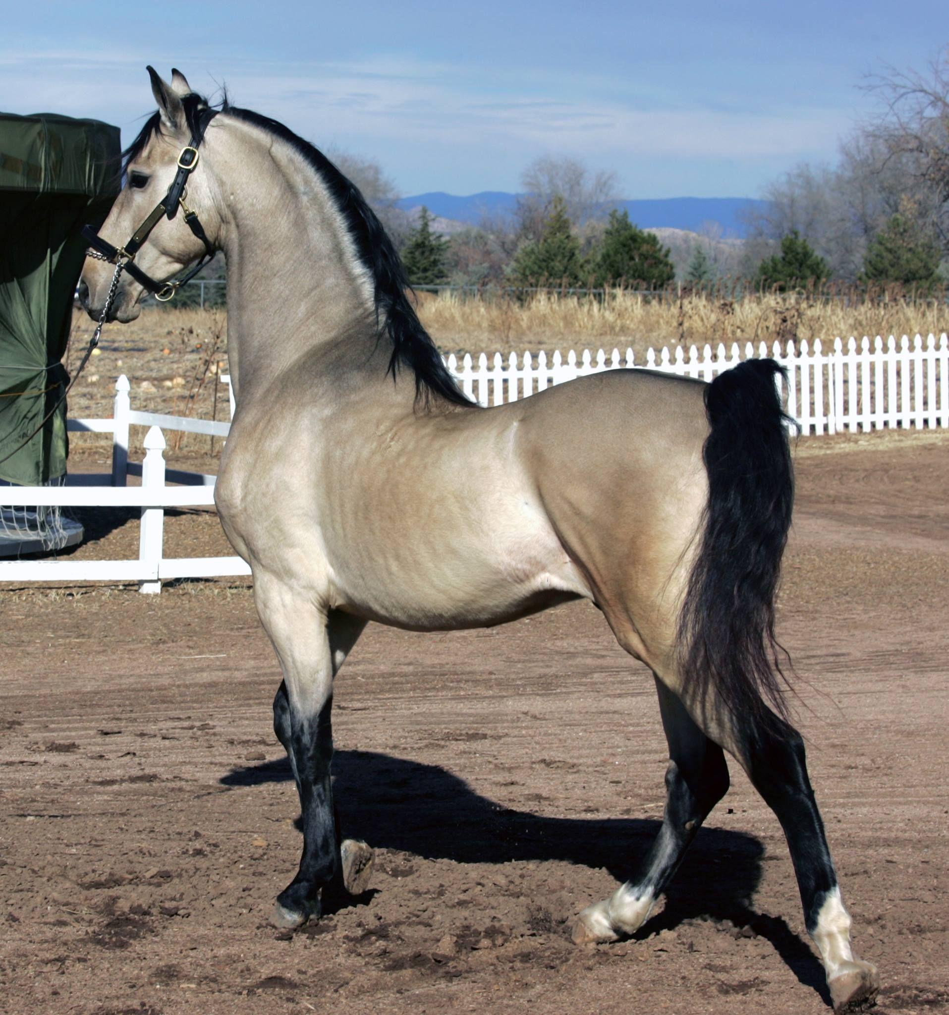 Buckskin Horses Beautiful Horses Cute Horses