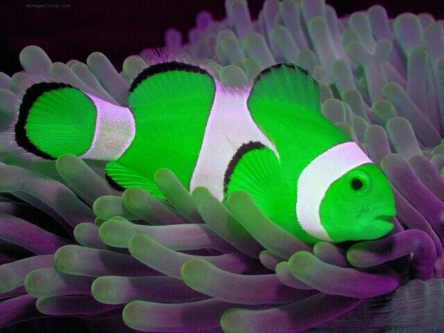 Neon Green Clownfish Clown Fish Fish Tropical Fish