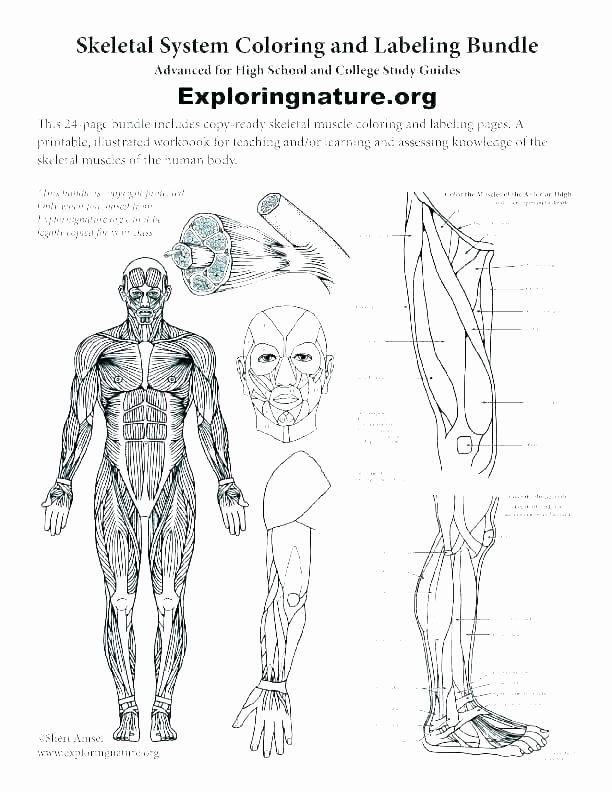 Printable Anatomy Labeling Worksheets Elegant Human Body