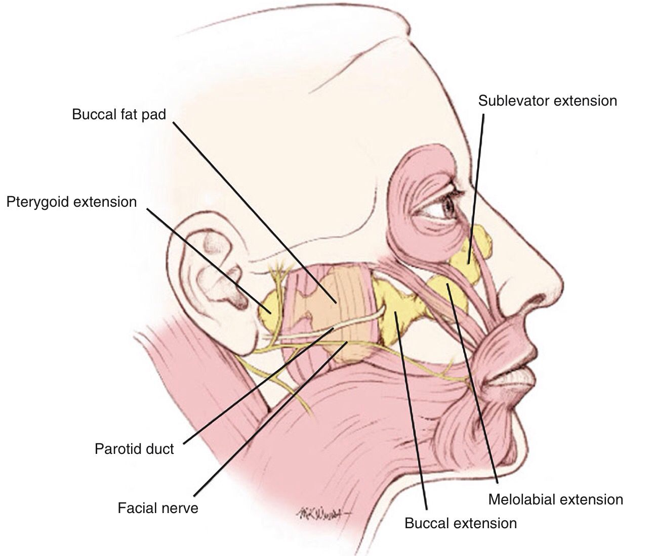 Buccal fat pad | Facial Anatomy | Pinterest | Fat