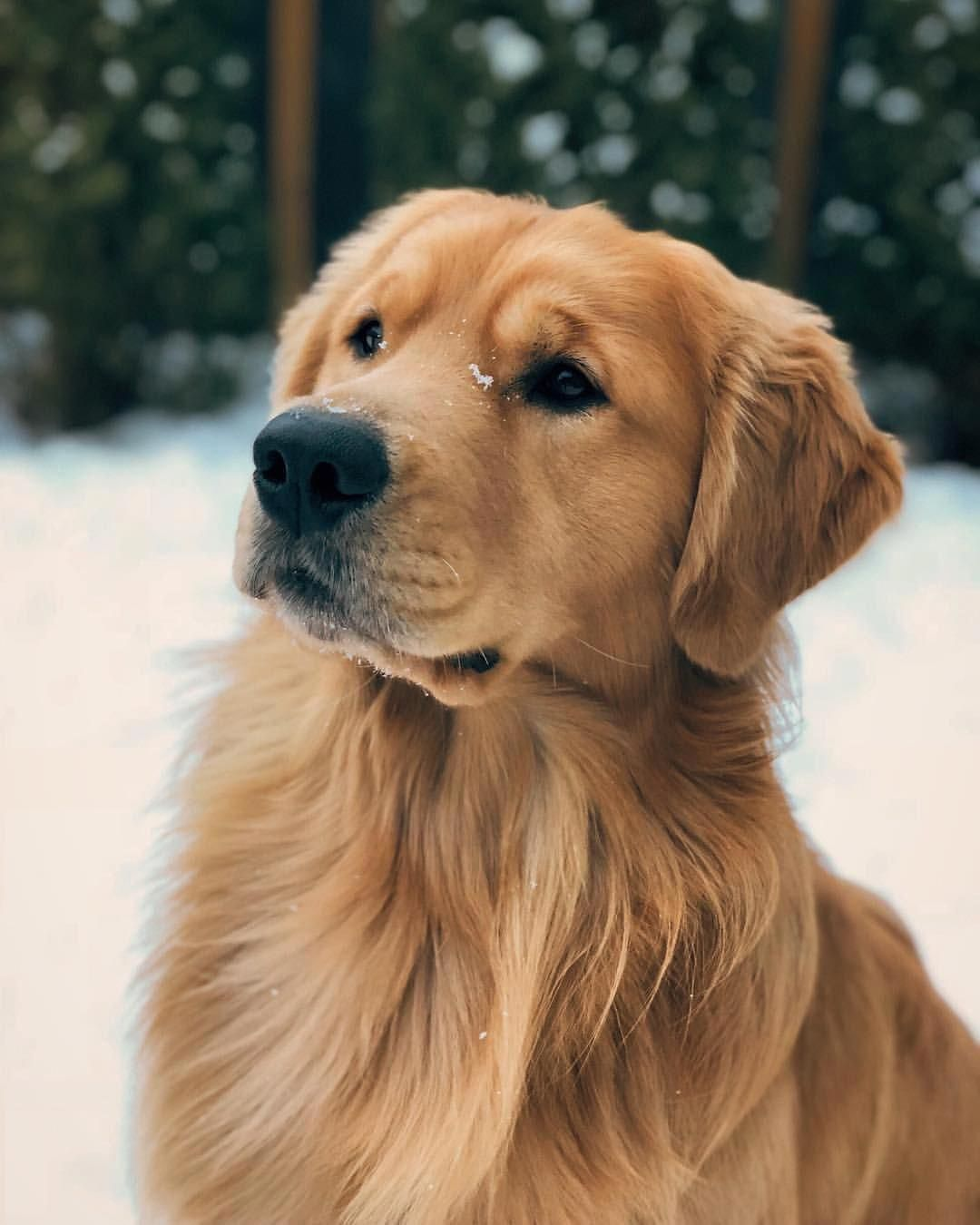 Golden Retriever Noble Loyal Companions With Images Dogs