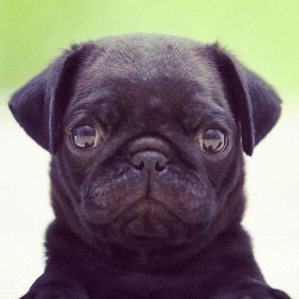 Only The Cutest Black Pug Puppies Baby Pugs Pug Puppies