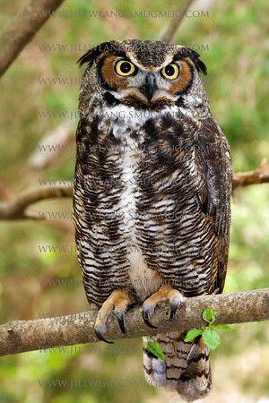 Great Horned Owl Great Horned Owl Horned Owl Beautiful Owl