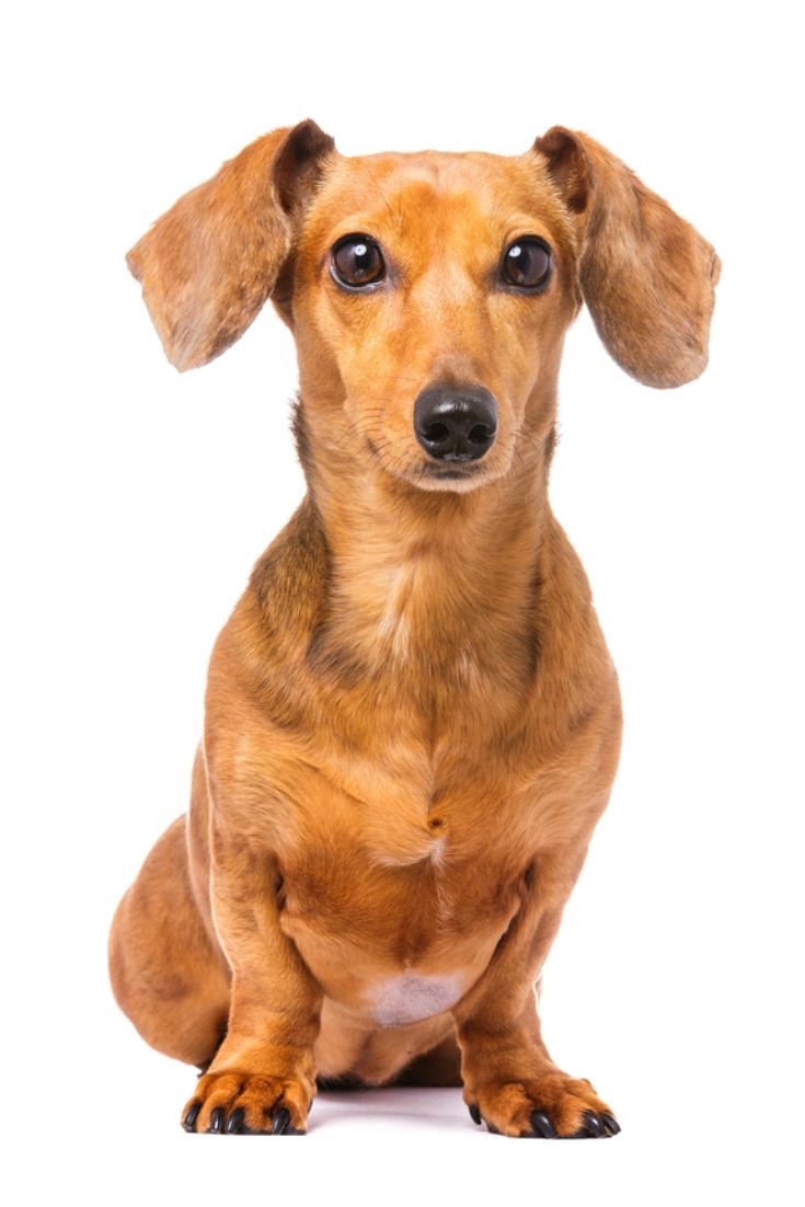 Dachshund do dachshund dog Dachshund dog, Dog stock
