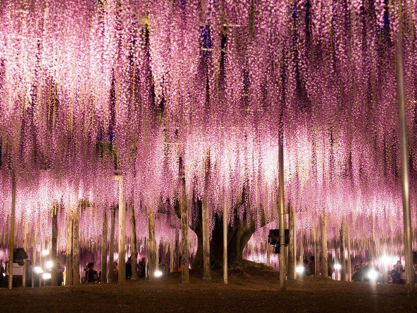 ashikaga-wisteria-japan-2-cr-getty.jpg