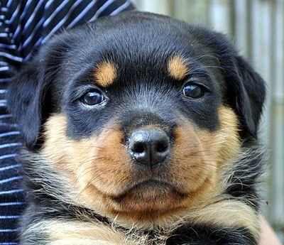 Five Week Old Rottweiler Puppies Rottweiler Puppies Puppies