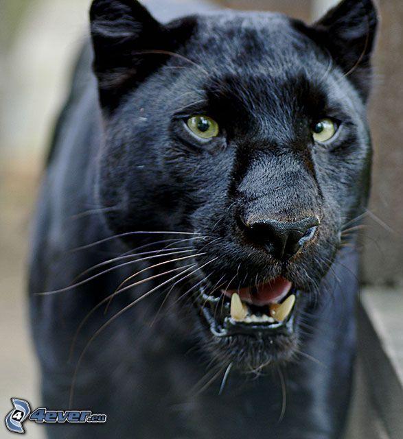 čierna puma, panter