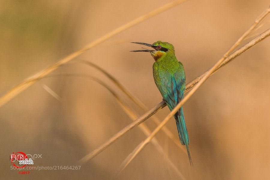 A blue tailed bee-eater by FurrukhShahzad via http://ift.tt/2rsGU8o