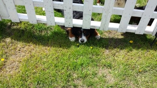 Please let me come out with you. Bernese Mountain Dog puppy Freya