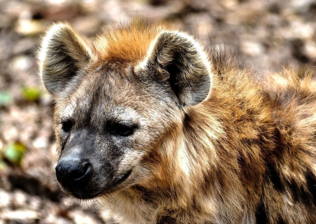Dog Hyena Wild Animal Wildlife Wallpaper Pinterest Hyena Wild Animal Wildlife Wallpaper Animals Wallpapers