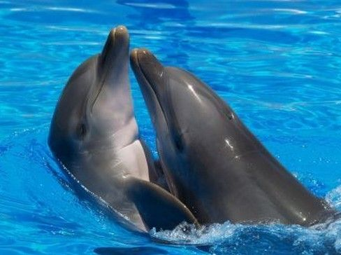 Dolphins Kissing Dolphins Animals Bottlenose Dolphin