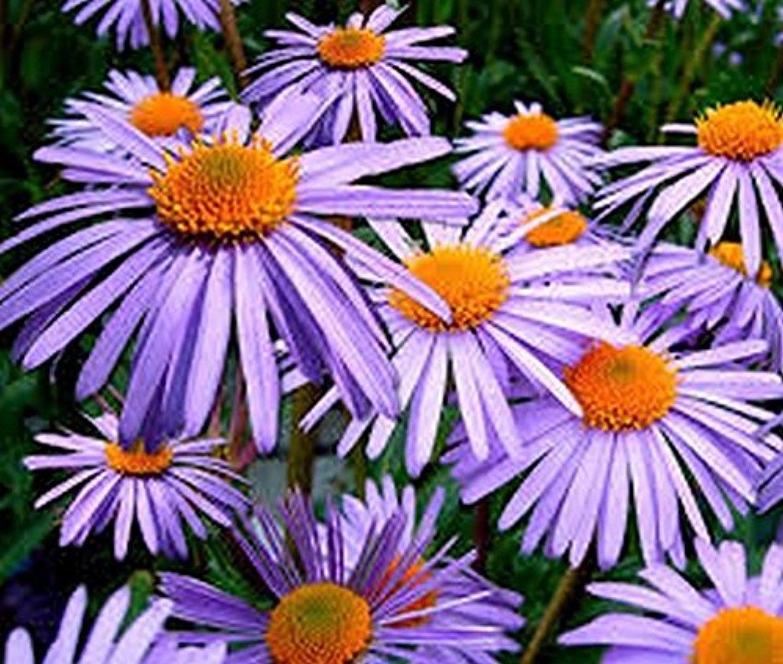 Aster Aster Tongolensis Wartburg Star 50 Seeds Aster Flower Types Of Flowers Flower Images